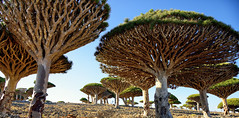 Momi Dragon Blood Forest (indomitablemachine) Tags: dixam dragonblood forest momi plateau socotra trees yemen hadhramautgovernorate ye