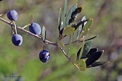 Olive (Anela epanovi) Tags: dream trips vela luka travel tourism you sholud be here