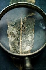 Details (borealnz) Tags: glass magnify magnifyingglass leaf leafskeleton detail closeup