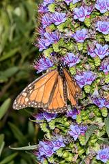 20161116_0020_7D2-70 Monarch feeding on Pride of Madeira (johnstewartnz) Tags: canon canonapsc apsc eos 100canon unlimitedphotos yabbadabbadoo 2470mm 2470 7d2 7dmarkii newbrighton newzealand monarch monarchbutterfly butterfly wanderer danausplexippus prideofmadeira echiumcandicans