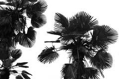 Untitled (Yuta Ohashi LTX) Tags: lights shadows   silhouette    black white monochrome bw japanese japan    meduro