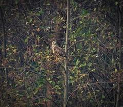 Frustration No. 1 (Bricheno) Tags: glasgow rutherglen dalmarnock bird raptor birdofprey buzzard bricheno scotland escocia schottland cosse scozia esccia szkocja scoia