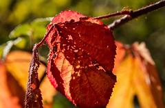 Beauté piquante, prickly beauty :-) (Larch) Tags: roncier couleur color rouge red automne autumn fall festival épine thorn feuille leaf briar blackberrybush