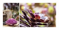 Coffee Pots and Succulent Drops (red stilletto) Tags: oakdenewinery oceangrove wallington garden gardens coffeepot ceramics succulent rain raindrops macro bellarinepeninsula famousflickrfive colourpalettes