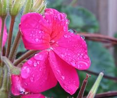 6008 Geranium and raindrops on the balcony (Andy - Busyyyyyyyyy) Tags: 20161115 gardenshoot geranium ggg pink plants ppp raindrops rrr