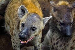 He just wants to play (werner boehm *) Tags: wernerboehm hyene hyena krgernp southafrica sdafrika safari