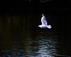 Seagull in flight (Merrillie) Tags: bokeh woywoy gull nature australia birds outdoor nswcentralcoast newsouthwales animal flight nsw flying channel wildlife centralcoastnsw photography seagull bird silvergull outdoors animals fauna centralcoast bay water dark