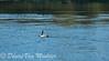 Grote Canadese gans - Canada Goose - Branta canadensis (desire van meulder) Tags: birds vogels gans goose grotecanadesegans canadagoose geese ganzen