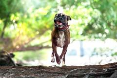 coming (Tams Szarka) Tags: dog pet animal puppy nikon boxerdog boxer outdoor nature forest fun funny strawberry