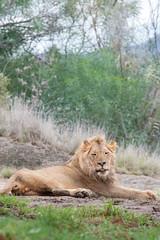 Ernest. (LisaDiazPhotos) Tags: ernest lion sdzsafaripark sdzoo sandiegozoo sandiegozooglobal sandiegozoosafaripark lisa diaz photos