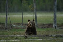 Curiosité (Samuel Raison) Tags: ours oursbrun bear brownbear wildlife wild wilderness nature animal finlande finland fiinland nikon nikond3 nikon4200400mmafsgvr