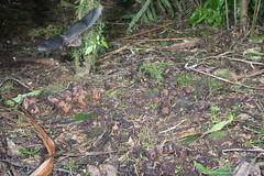 Short-tailed bat (Mystacina tuberculata) and Wood Rose (Dactylanthus taylorii) (Nga Manu Images NZ) Tags: dactylanthustaylorii fscientificnames flowering mammals mystacinatuberculata plantsandfungi pollination pureora shorttailedbat woodrose