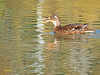 Hembra de Azulón (Anas platyrhynchos) (16) (eb3alfmiguel) Tags: aves acuaticas anade azulon hembra
