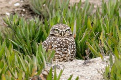 Burrowing Owl - DEL_9462-LRwm (lawde13) Tags: burrowingowl athenecunicularia