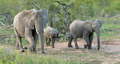 African Elephants. (Bob Eade) Tags: southafrica elephant krugerpark mammal