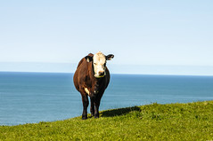 Moo (AnotherSaru - Limited mode) Tags: ocean ranch northerncalifornia cow cattle pacific farm moo roadside dairy