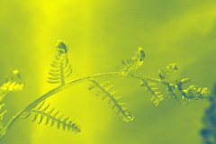 New Fern -- DuoTone -- Happy Sliders Sunday -- HSS (Chickens in the Trees (vns2009)) Tags: new light sunlight fern nature floral botanical spring sunday frond duotone sliders unfurling hss furled chartreuseyellow