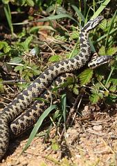 Adder 2 20120416 (Steve TB) Tags: snake adders britishwildlifecentre adderdance