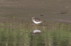 / Wood Sandpiper / Tringa glareola (Panayotis1) Tags: birds canon aves greece animalia chordata canonef400mmf56lusm imathia   66 tafros66 kenkopro300afdgx14x