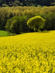 spring colors (pierre hanquin) Tags: flowers trees light sun flower color colour tree green nature fleur colors field yellow fleurs jaune landscape geotagged soleil spring nikon europa europe colours belgium belgique couleurs champs belgië vert arbres fields grün paysage landschaft arbre printemps couleur liège wallonie 1685 1685mm d7000 1685mmf3556gvr hanquin