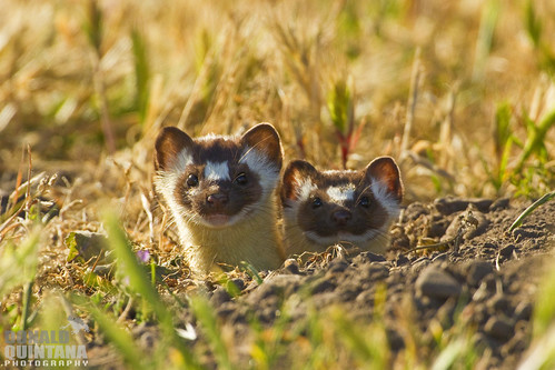 Long-tailed Weasel, Mustela frenata, pair of young looking out of a burrow, Montana de Oro State Park, California