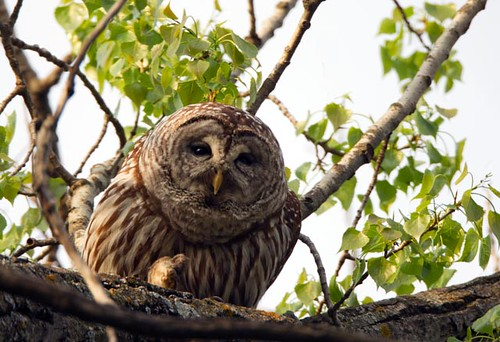 Barred Owl_Q4G9481