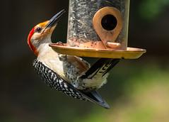 Red bellied Woodpecker (ScreaminScott) Tags: birds woodpecker redbelliedwoodpecker nikkor80200f28 inexplore