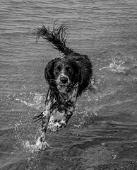 Happiness is a Beach (The Danish Girl) Tags: ocean sea summer dog holiday beach nature water animal canon sand wildlife running