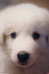 Cracker 8 weeks (be-t) Tags: white puppy fur close greatpyrenees