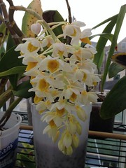 Den. thyrsiflorum (Men In Black) Tags: flowers plants orchids uploaded:by=flickrmobile flickriosapp:filter=nofilter