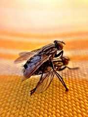 Fly Sex (stereocallo) Tags: sex fly mosca