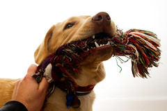 Fierce (Wozza_NZ) Tags: dog pet cute puppy labrador play fierce teeth games rope dudley tug