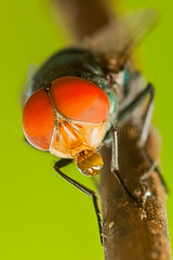 IMG_8927 (Richard Lumpas) Tags: macro eye animal animals canon bug insect fly eyes insects bugs flies elitebugs