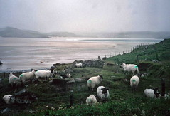 Marked sheep, Sands of Loch Roag?, Isle of lewis (1996) (Duncan+Gladys) Tags: uk scotland enhanced isleoflewis rossandcromarty