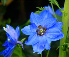 Am I Blue? (Stanley Zimny) Tags: park flowers blue macro nature colors botanical flora seasons fourseasons naturephotos natureimages