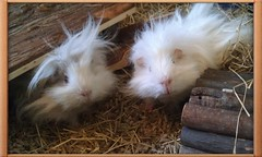 Our adorable guinea pigs (Scratchblack) Tags: pets cute animals eos guinea rodent adorable fluffy tags swedish pigs curious selene piggies djur marsvin lunkarya