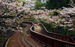 Sakura in Alishan , Chiayi , Taiwan (photor432) Tags: roc taiwan  cherryblossom sakura   csh kirschblte   krsbrsblom kersenbloesem flordecerejeira  fioridiciliegio  yoshinocherry  flordecerezo fleurdecerisier hoaanho bungasakura      cshblack432 cherrybunga