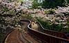 "阿里山 櫻花 吉野櫻 Sakura in Alishan , Chiayi , Taiwan (photor432) Tags: roc taiwan 桜 cherryblossom sakura 阿里山 櫻花 csh kirschblüte ساكورا 벚꽃 körsbärsblom kersenbloesem flordecerejeira сакура fioridiciliegio 阿里山櫻花 yoshinocherry ซากุระ flordecerezo fleurdecerisier hoaanhđào bungasakura 사쿠라 เชอร์รี่ 鐵道櫻花 زهرةالكرز вишнявцвету cshblack432 cherrybunga ""さくら"""