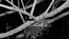 Cicada upside-down on stem (2013 Brood II, Magicicada septendecim, also called Pharaoh Cicada or the 17-year Locust) (Stephen Little) Tags: 50mmf17 sooc minolta50mmf17 straightoutofcamera minoltaaf50mmf17 minolta50mm sonya77 jstephenlittlejr slta77 sonyslta77 sonyslta77v sonyalphaslta77v