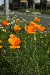 Blumen_02 (Nicola Corneo) Tags: verde sigma erba fiori papaveri foveon arancioni dp2m dp2merrill
