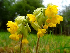 RSPB Fowlmere May 2013 (herbman101) Tags: uk flowers england flower nature photo naturereserve wildflowers wildflower cambridgeshire fowlmere cowslip cowslips rspb primulaveris birdreserve rspbfowlmere commoncowslip
