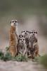 What are you looking at? ([[BIOSPHERE]]) Tags: cute group kalahari meerkats