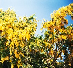 Laburnum (teaselbrush) Tags: camera uk flowers england white west tree film nature yellow angel rural lens toy photography sussex countryside slim angle widescreen wide flowering british analogue shrub laburnum goring superheadz