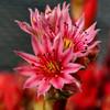 Blüte einer roten Hauswurz - Red Houseleek Blossom