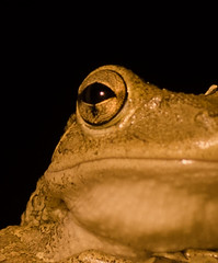 Tree Frog-053 (VinceFL) Tags: longexposure wildlife amphibian noflash treefrog floridawildlife manfrottotripod afsdxvrzoomni