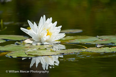 Swamp Water Makes You Pretty (WilliamMercerPhotography) Tags: wild flower reflection nature water animal outdoors lily wildlife south mercer swamp okefenokee blackwater okefenokeeswamp nikon sigma photography william d3s 50500 fragrantwaterlilynymphaeaodorata southernhobbyist
