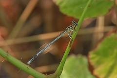 abbracciata al piccolo rametto - Vaccarile di Ostra (walterino1962) Tags: foglie ombre luci spine riflessi insetto ancona ostra gambi