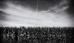 (Mark ~ JerseyStyle Photography) Tags: summer bw newjersey corn contrails 2013 canon50d newjerseyphotographers jerseystylephotography wwwjerseystylephotographywordpresscom july2013 ©markvkrajnakallrightsreserved2013