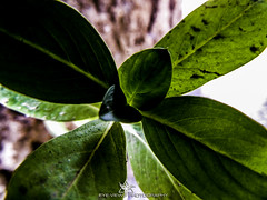 DSCN3513 (Eye-View Photography) Tags: plant macro green leaves nikon explore effect eyeview flickeraward