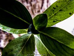 DSCN3513 (Eye-View Photography) Tags: plant macro green leaves nikon explore effect eyeview flickeraward